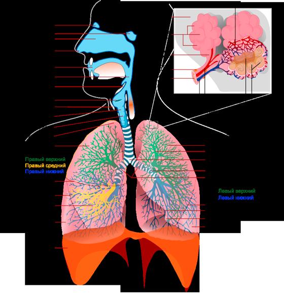 Respiratory_system_complete_ru_medium